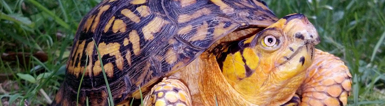 Box Turtle Connection