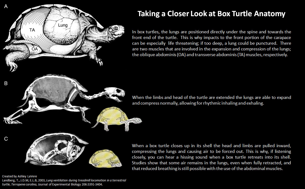 Closing In on Box Turtle Anatomy