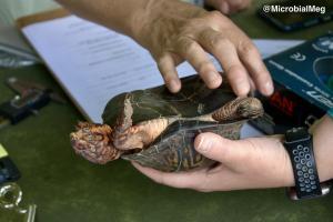 turtle tummy