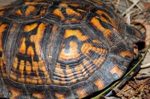 turtle-11