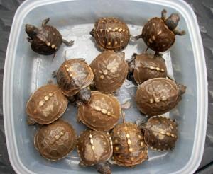 turtlings-19
